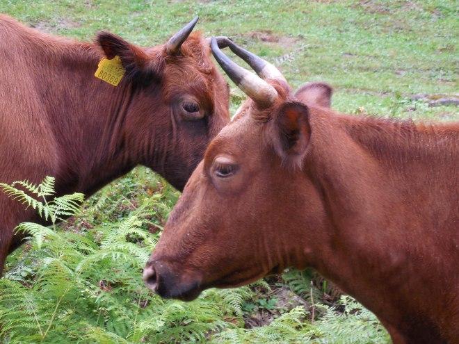 georgia-mitrala-cows-3191